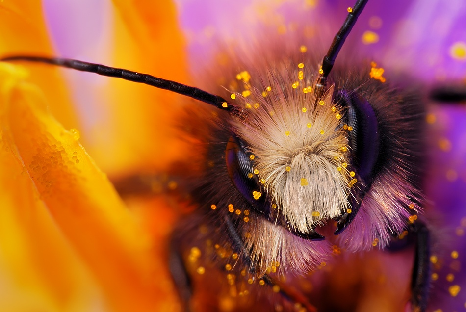 A piece of fine art art photography titled Miner Bee by Boris Godfroid