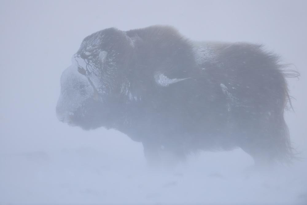 Portrait of Musk ox fighting a winter snow blizard