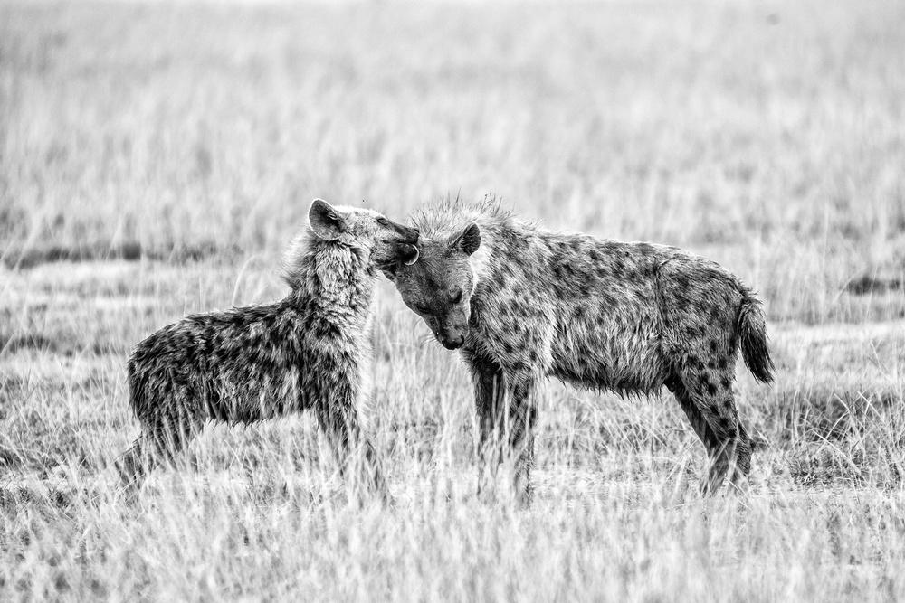 Hyena I