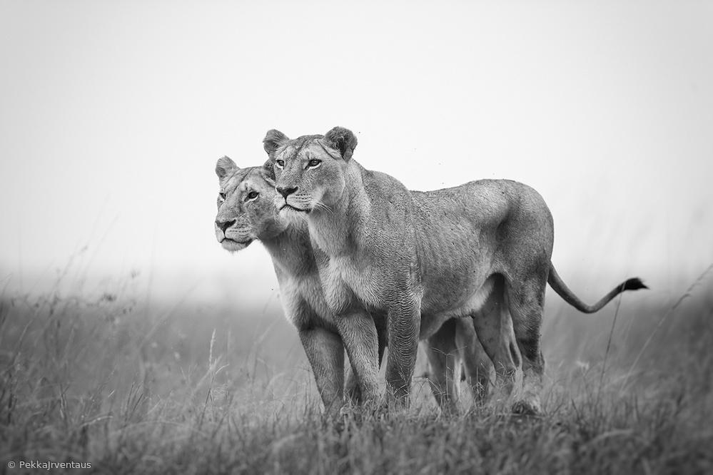 Sisters, Masai Mara
