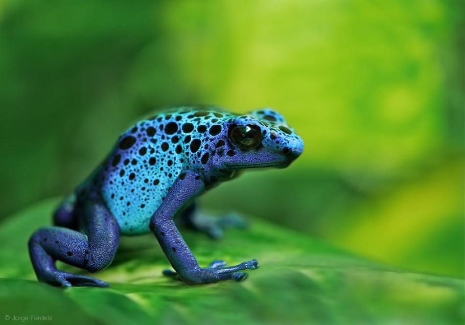 Mars Frog - azureus