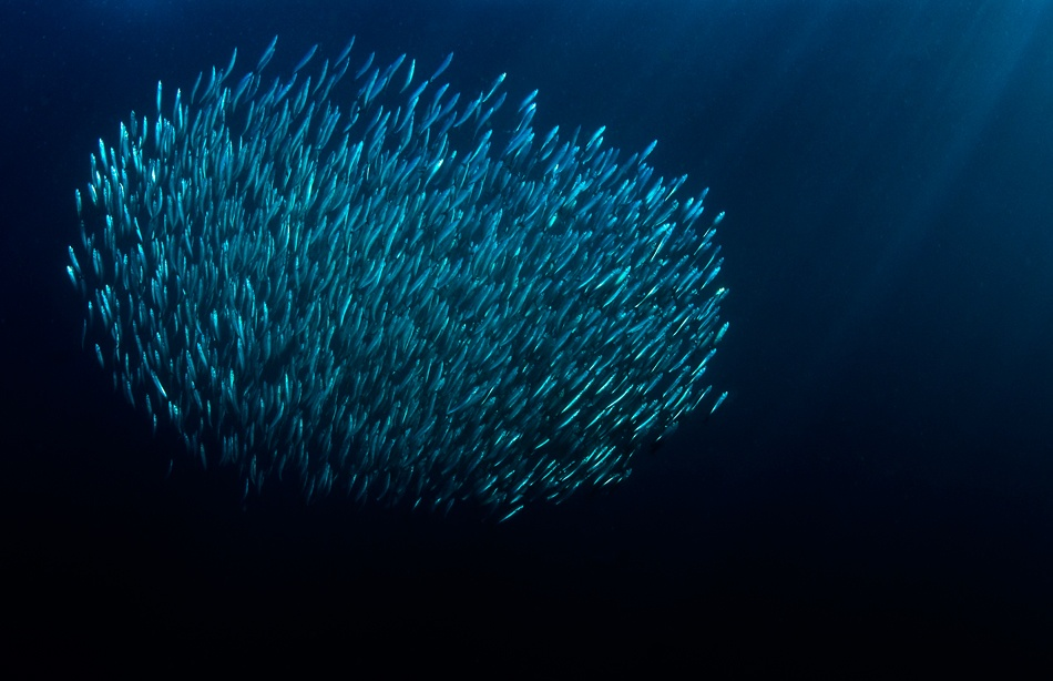 A piece of fine art art photography titled The Bait Ball by Mikael Jigmo