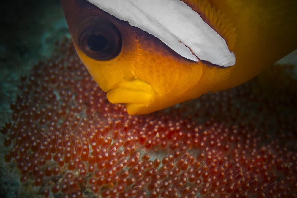 A piece of fine art art photography titled Clownfish by Essa Tawfeeq