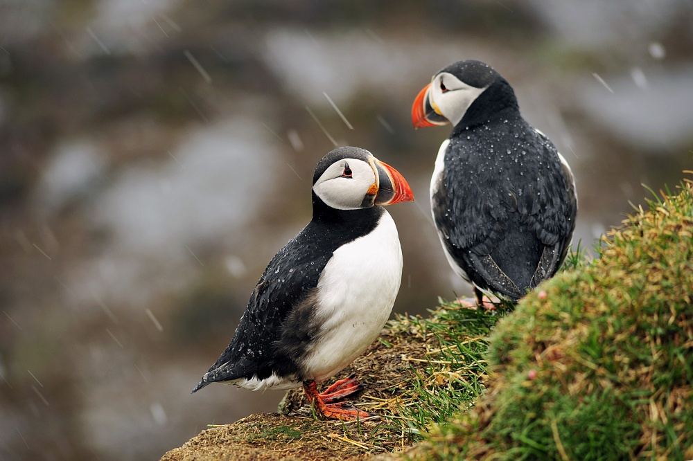 A piece of fine art art photography titled Puffin Couple by WixMo