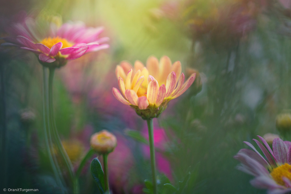 Marguerite Daisy plants