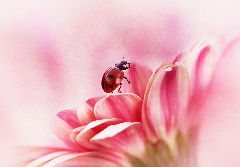 A piece of fine art art photography titled Ladybird On Gerbera by Ellen van Deelen