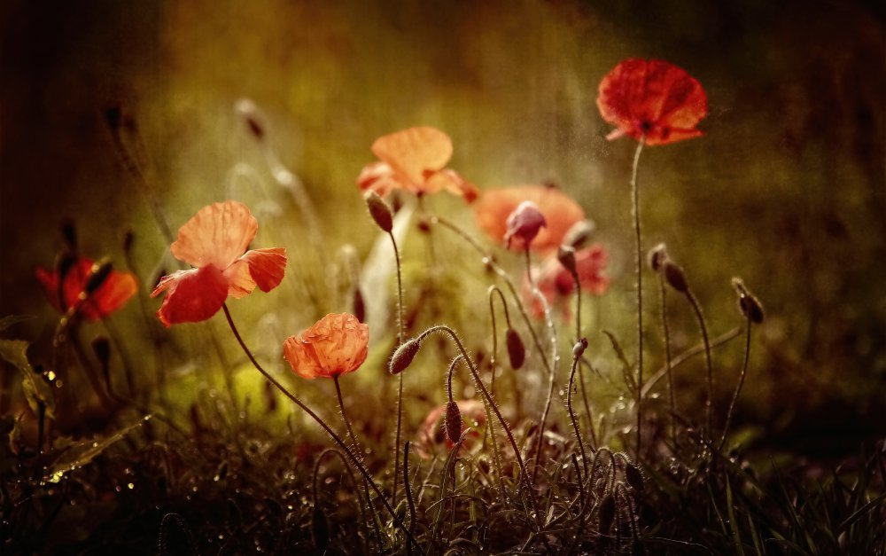 View this piece of fine art photography titled poppies by Anna Cseresnjes