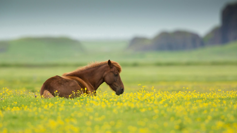 A piece of fine art art photography titled Icelandic Horse by Milan Zygmunt