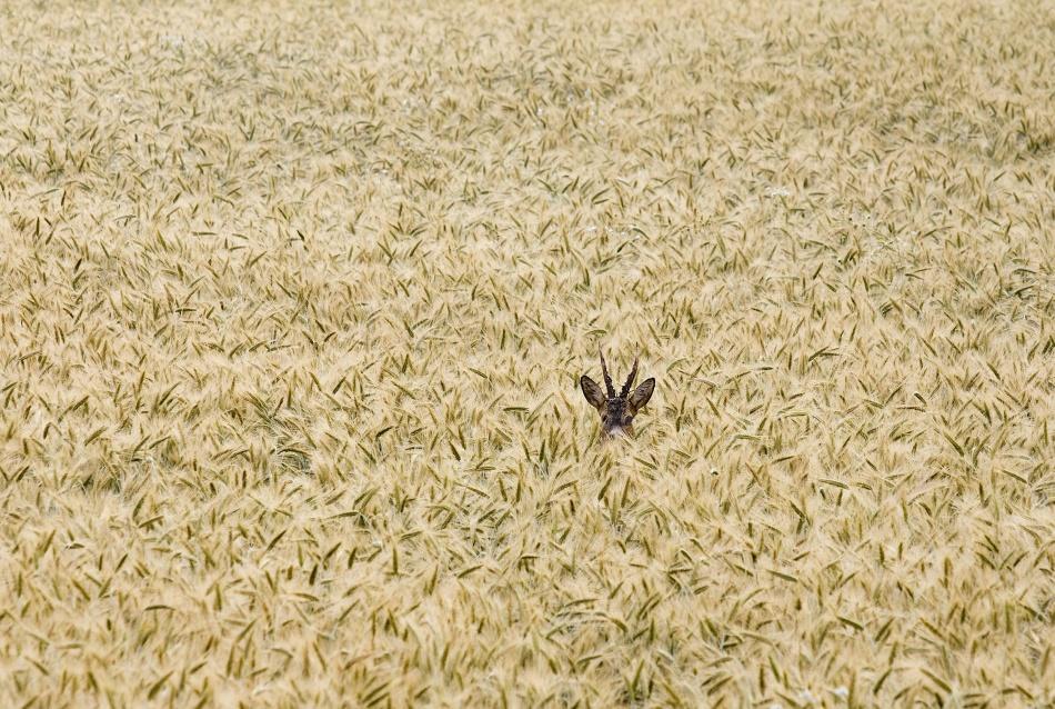 A piece of fine art art photography titled Roe Deer In a Field by Allan Wallberg
