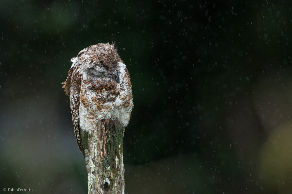 Sleep in the rain (Great Potoo)