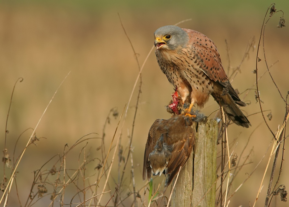 A piece of fine art art photography titled Kestrel With Prey by Savatage