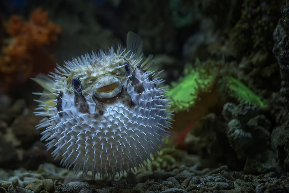 A piece of fine art art photography titled Pufferfish Tetraodontidae by Ronni Santoso