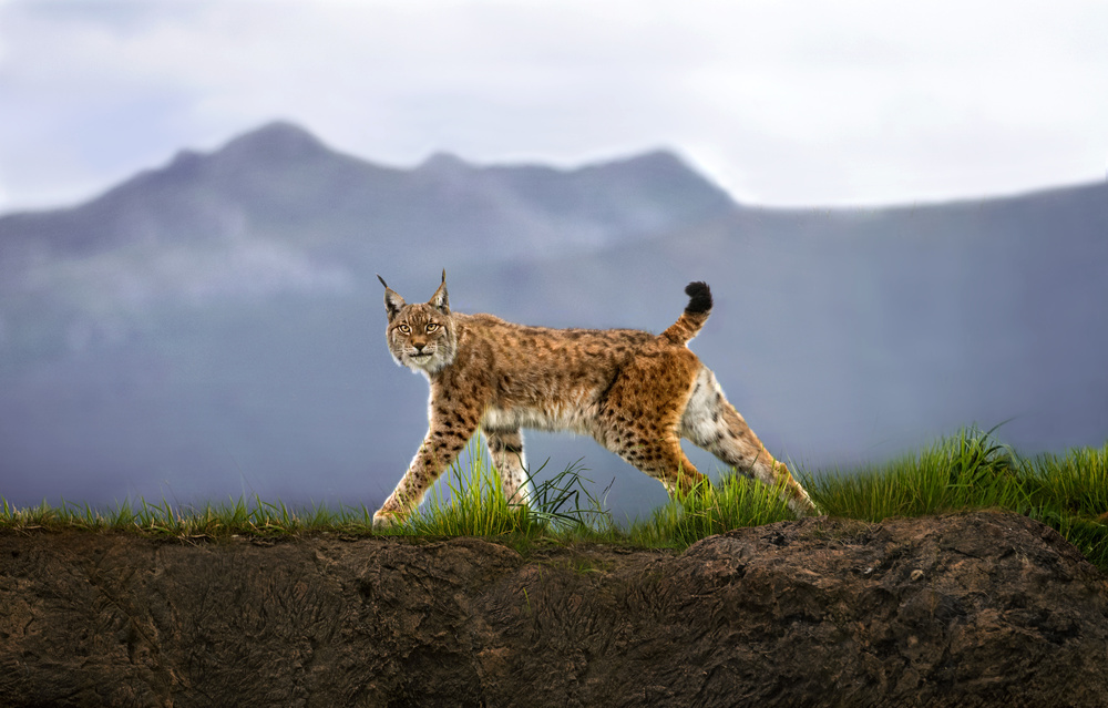 A piece of fine art art photography titled Walking Lynx by Xavier Ortega