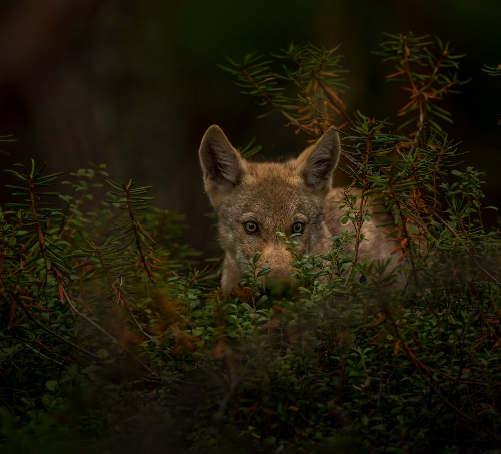A piece of fine art art photography titled The Little Wolf by Viveka Rabehl