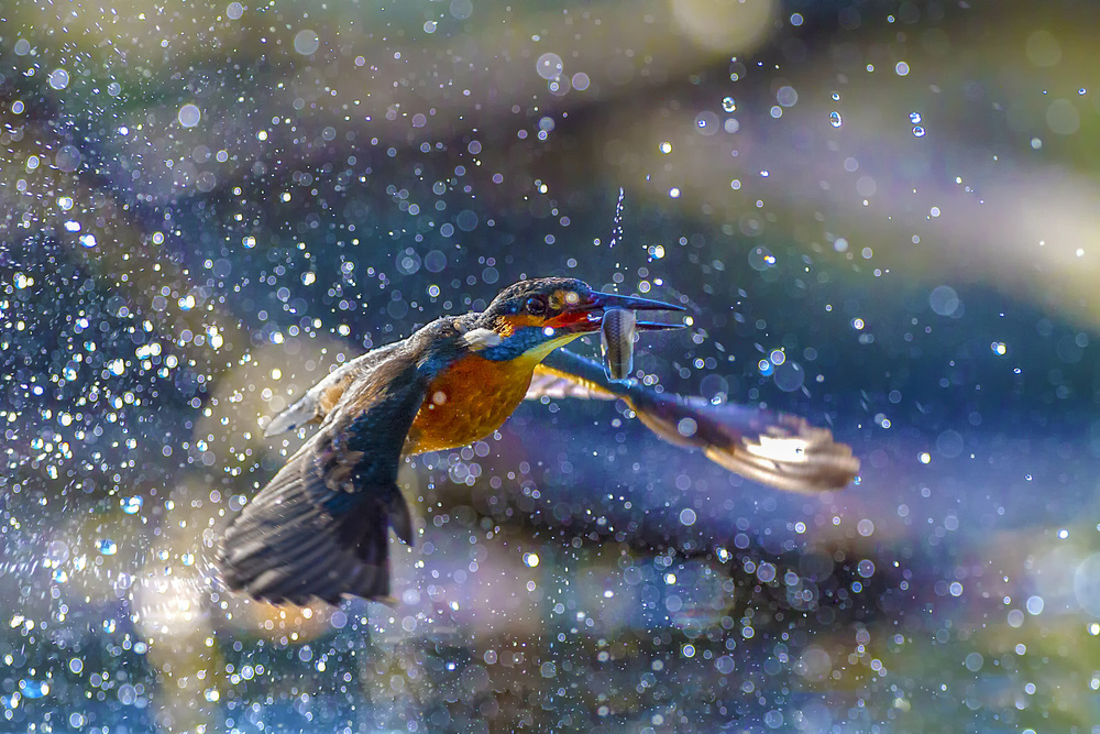A piece of fine art art photography titled Kingfisher Backlight by Marco Redaelli