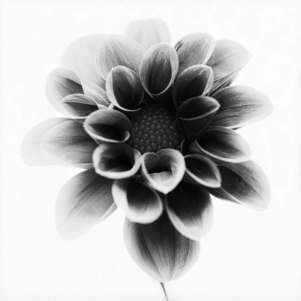 A piece of fine art art photography titled Dahlia by Lotte Grønkjær