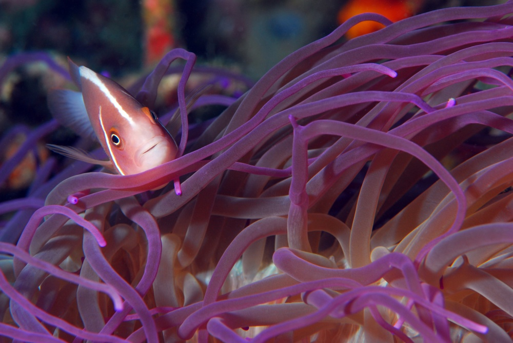 A piece of fine art art photography titled Pink Anemonefish by Stella Del Curto