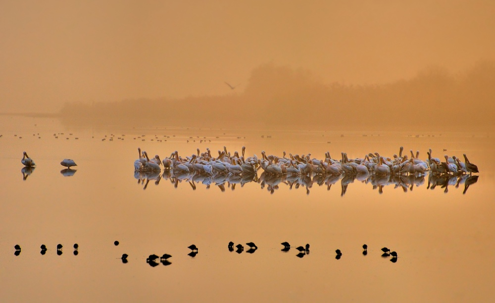 A piece of fine art art photography titled Good Morning Pelicans ! by Yair Tzur