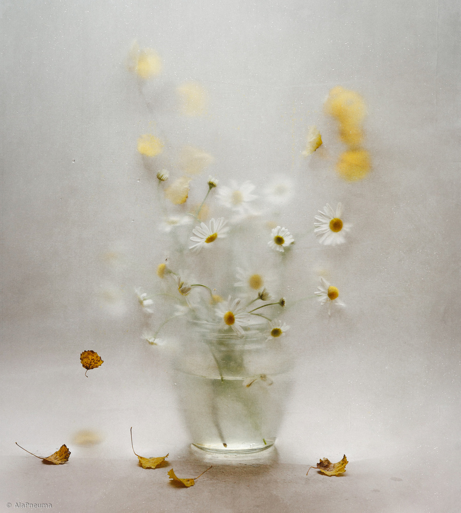 View this piece of fine art photography titled october daisies by Ala Pneuma