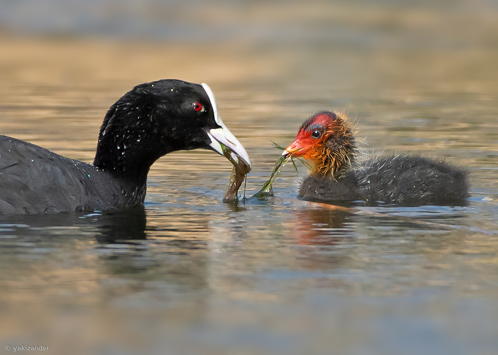 Mother love ... Coot.