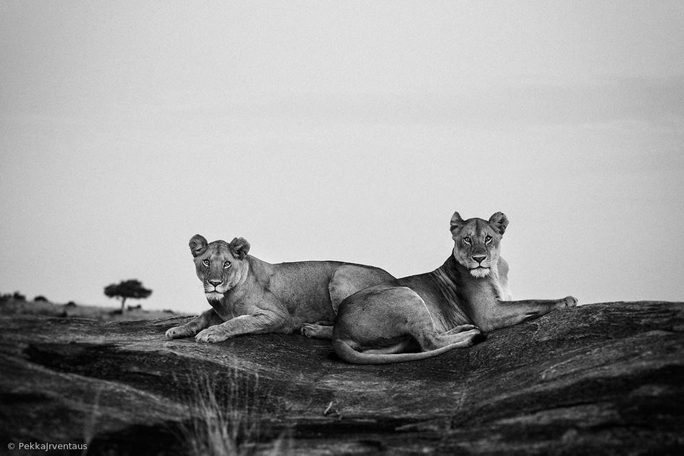 sand river lions, Masai Mara, Kenya