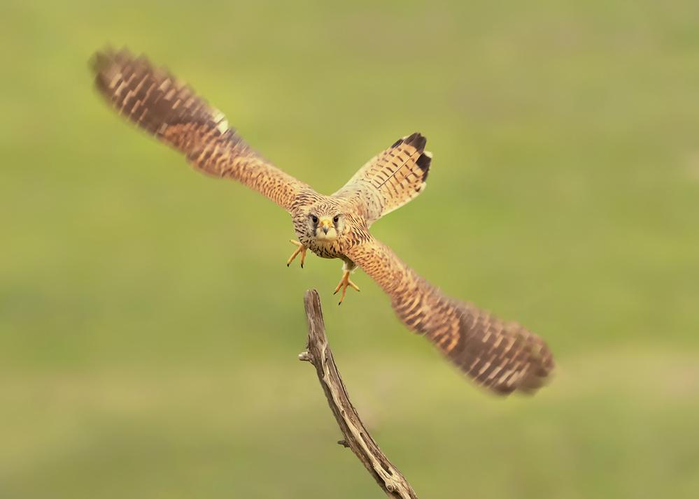 A piece of fine art art photography titled Falco Peregrinus by Annie Poreider
