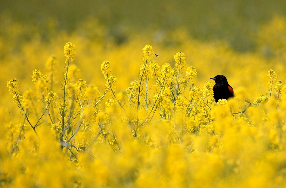 A piece of fine art art photography titled Red-winged Blackbird In Sea of Yellow by David Orias