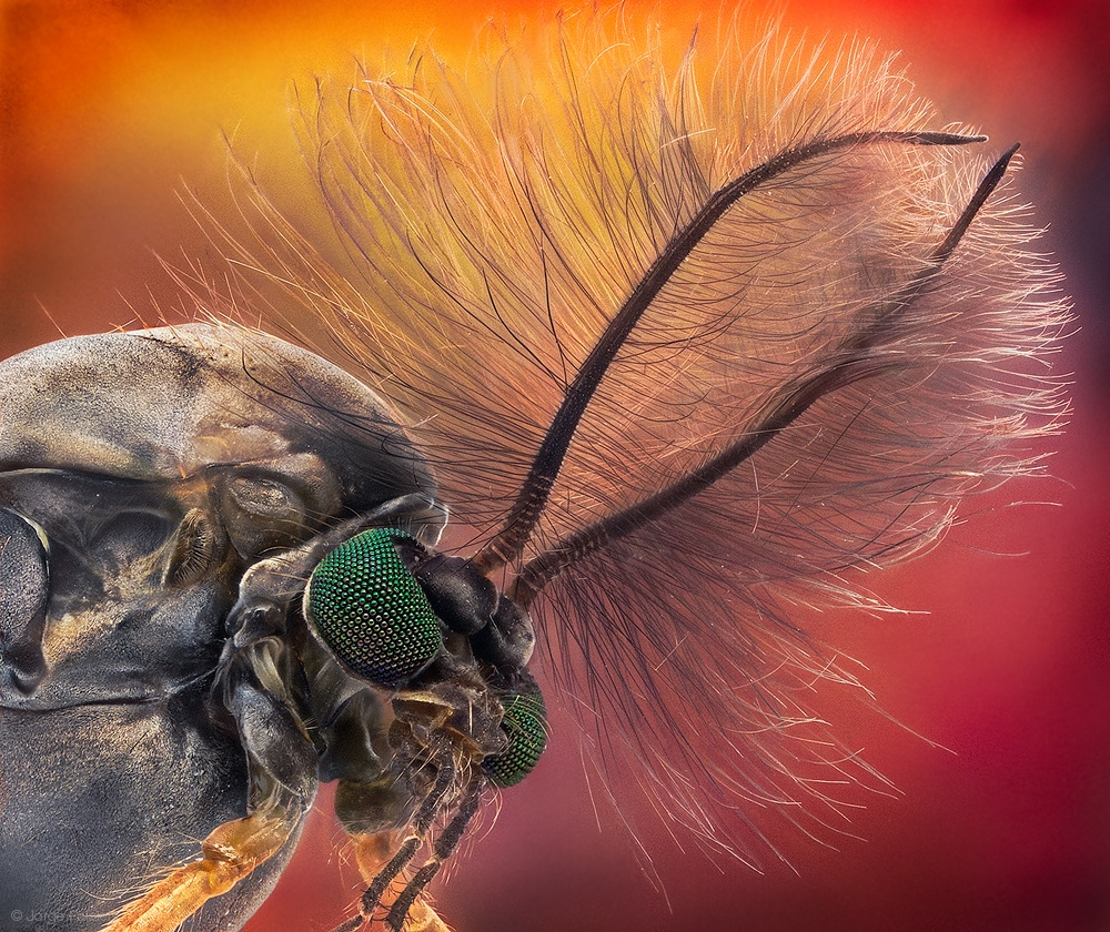 Duster Head - Chironomus sp.