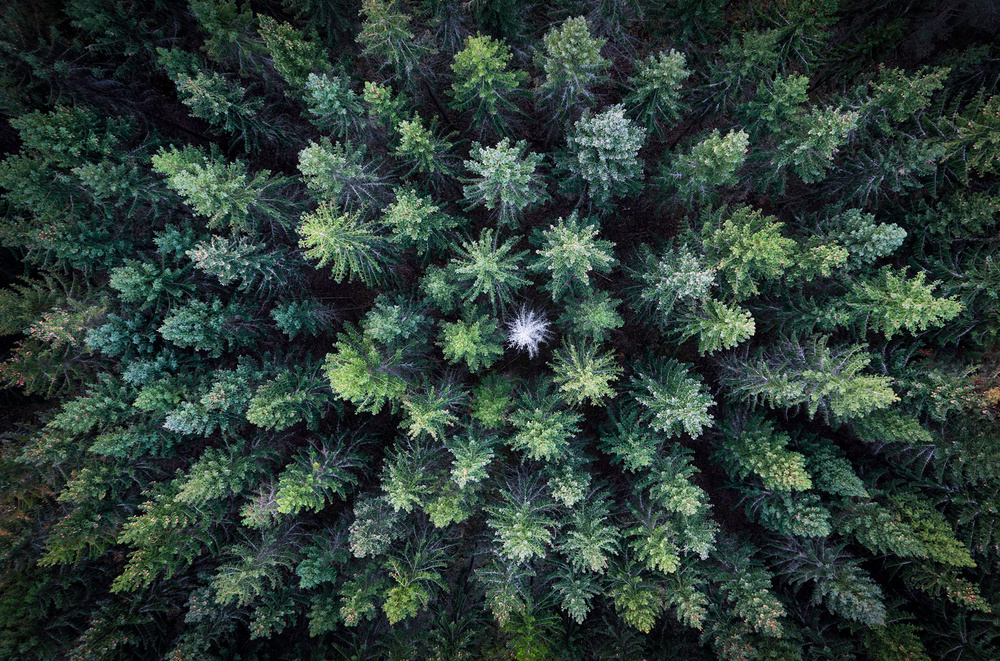 Dead tree surrounded by alive trees, drone photo.