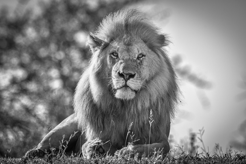 Monochromatic lion king