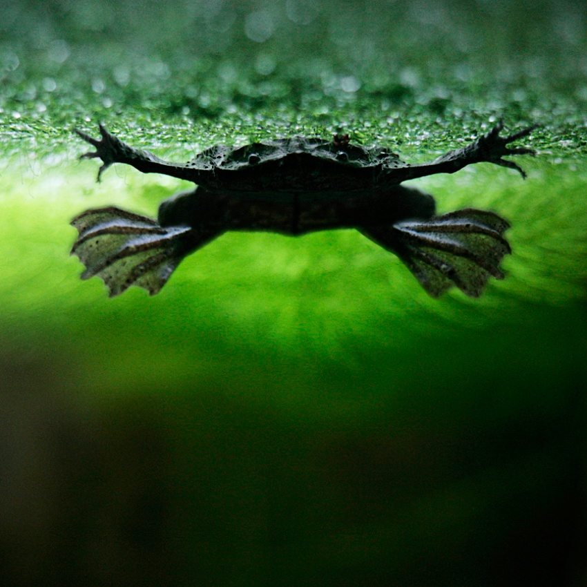 A piece of fine art art photography titled The Frog by Bela Benedek