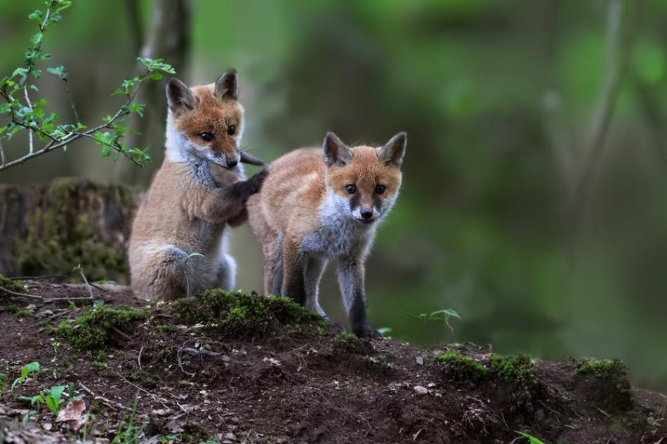 smal fox