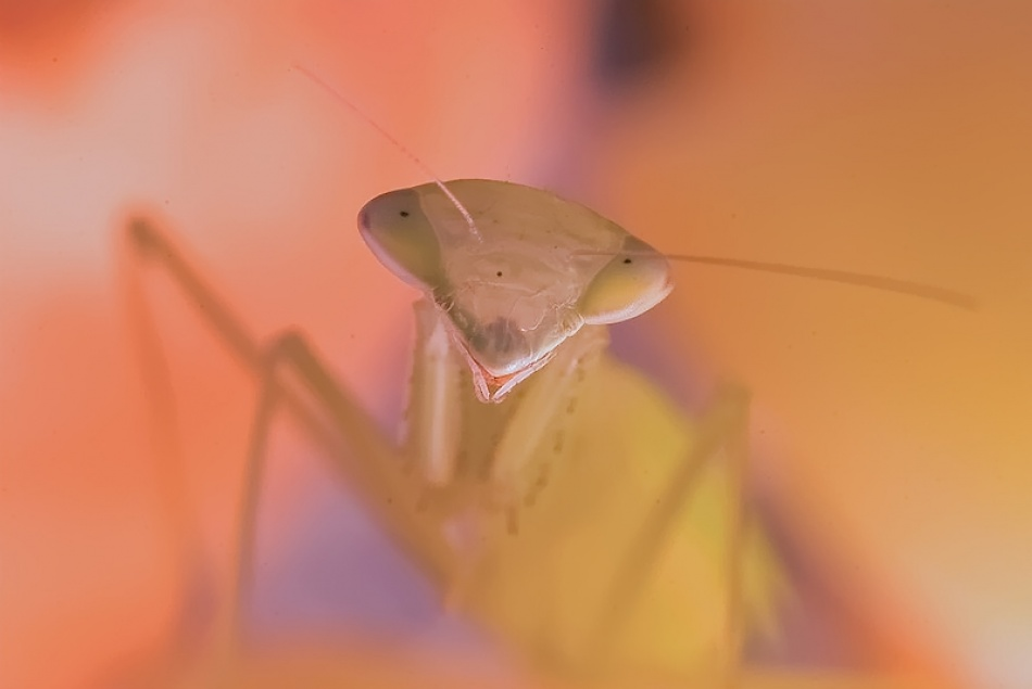 A piece of fine art art photography titled Praying Mantis by Leon Baas