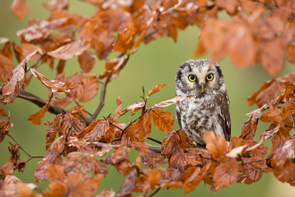 A piece of fine art art photography titled Boreal Owl by Milan Zygmunt