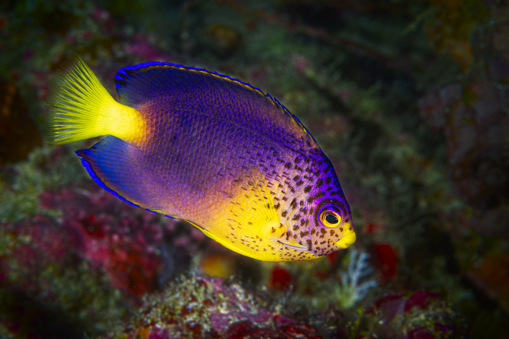 View this piece of fine art photography titled Blue Mauritius angelfish by Barathieu Gabriel