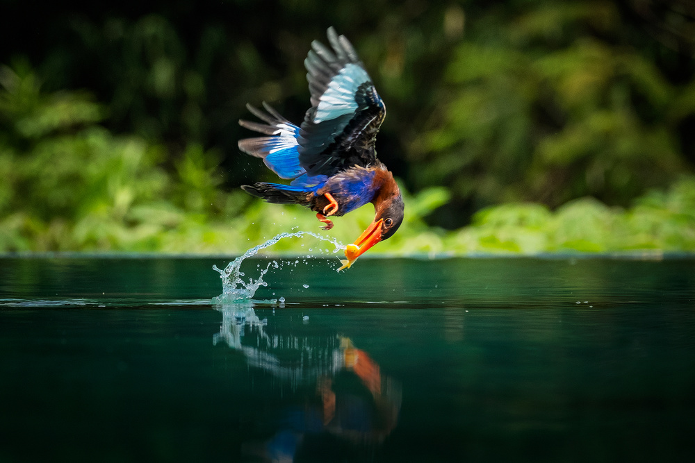 View this piece of fine art photography titled the king fisher by teddy hariyanto