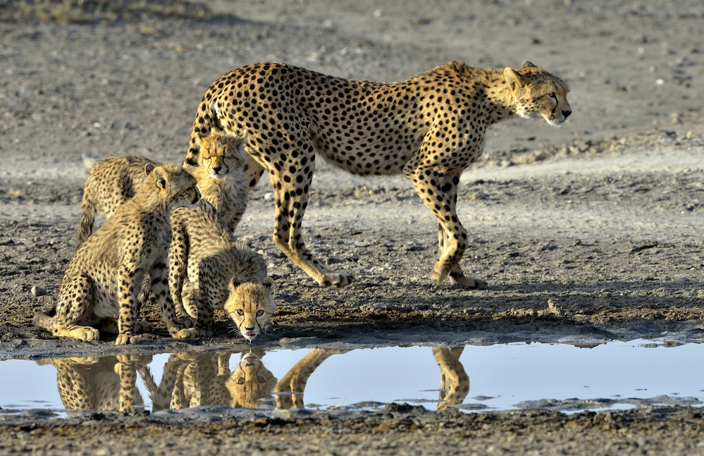 A piece of fine art art photography titled Cheetahs by Giuseppe DAmico