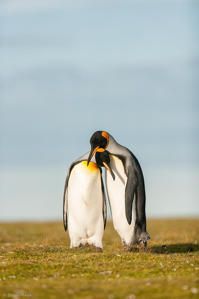 King Penguins couple