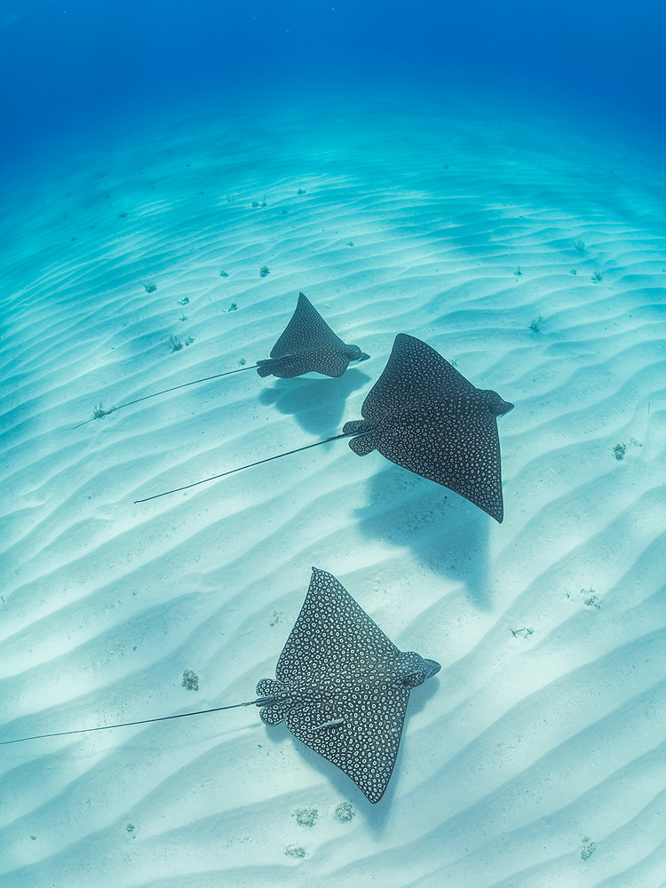 A piece of fine art art photography titled Spotted Eagle Rays by Eugene Kitsios