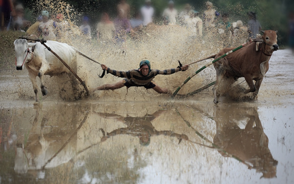 A piece of fine art art photography titled Joki Racing Cow by Rahmat Gusra