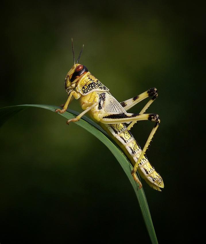 A piece of fine art art photography titled Desert Locust by clintnewsham