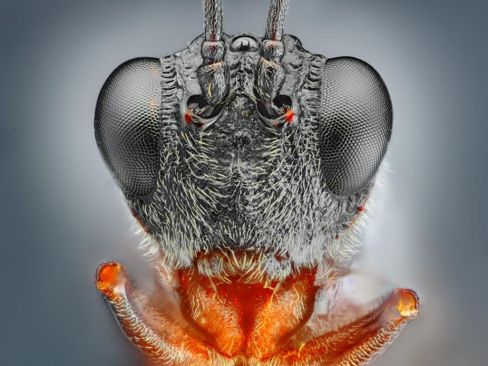 Little black wasp portrait