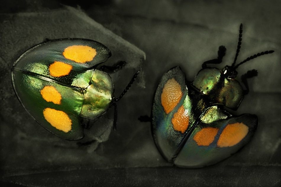 A piece of fine art art photography titled Leaf  Beetles by Jimmy Hoffman