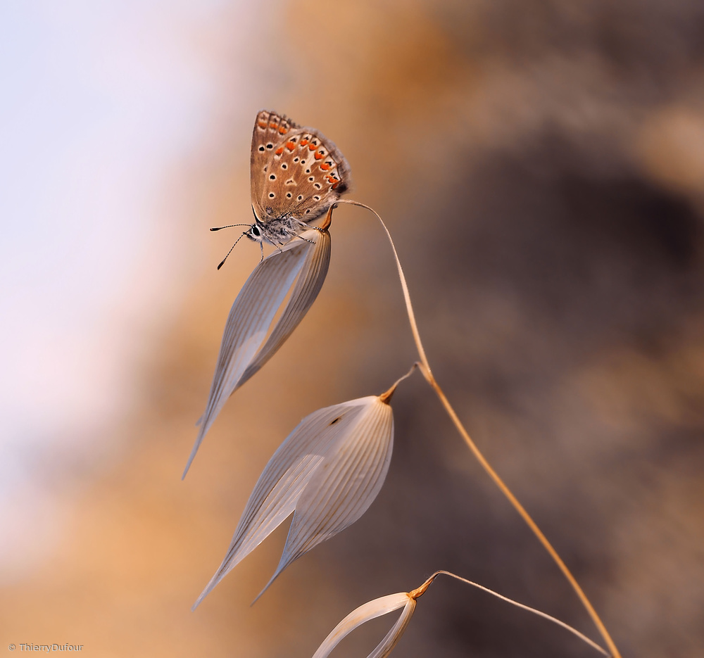 View this piece of fine art photography titled The lightness of the butterfly... by Thierry Dufour