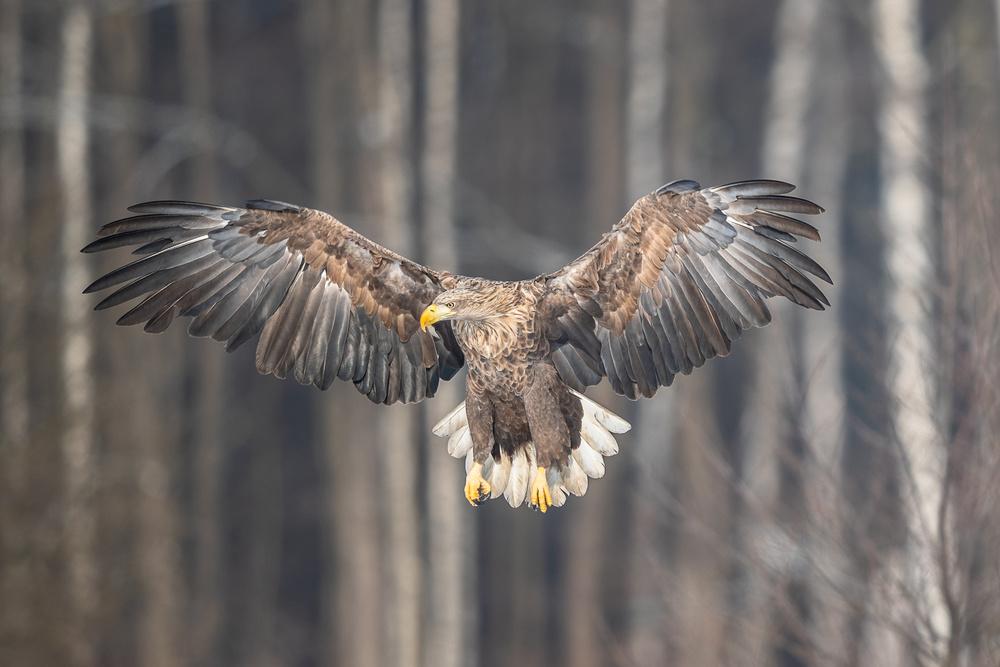 White -tailed eagle
