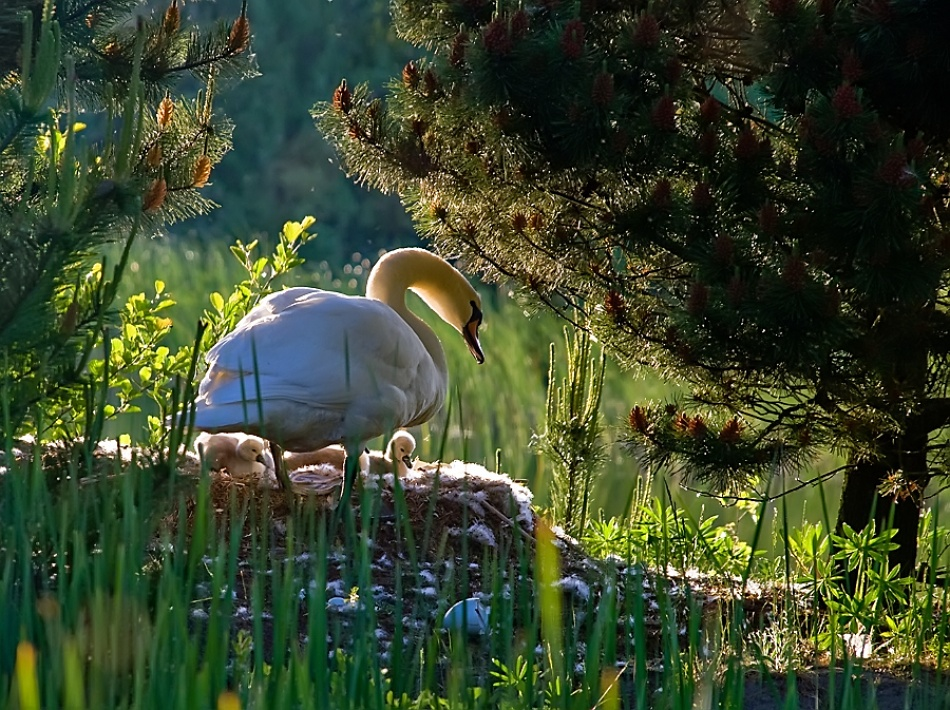 A piece of fine art art photography titled Swan's In the Spring by Hye