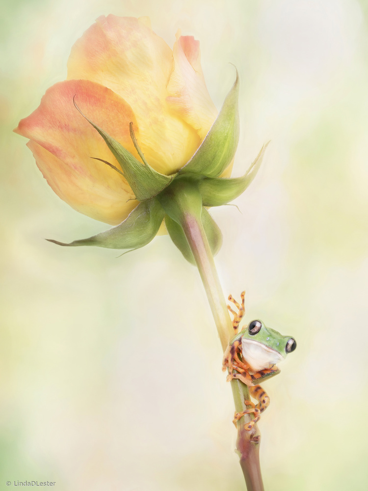 View this piece of fine art photography titled Tiger Leg Monkey Tree Frog by Linda D Lester