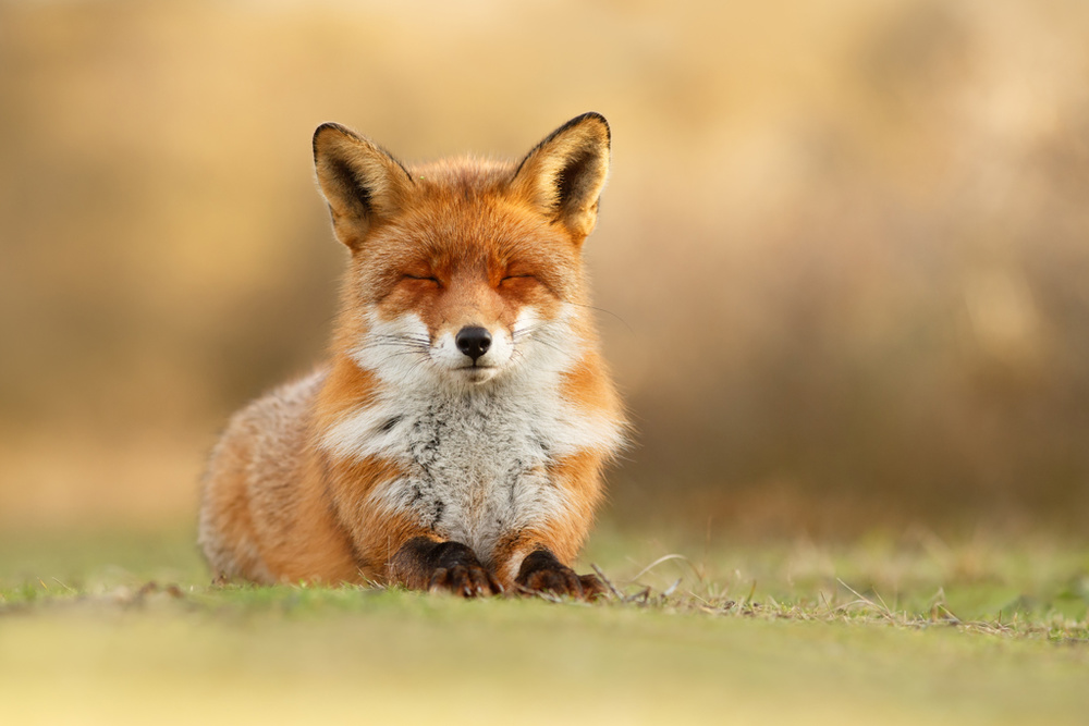 Zen Fox 3.0