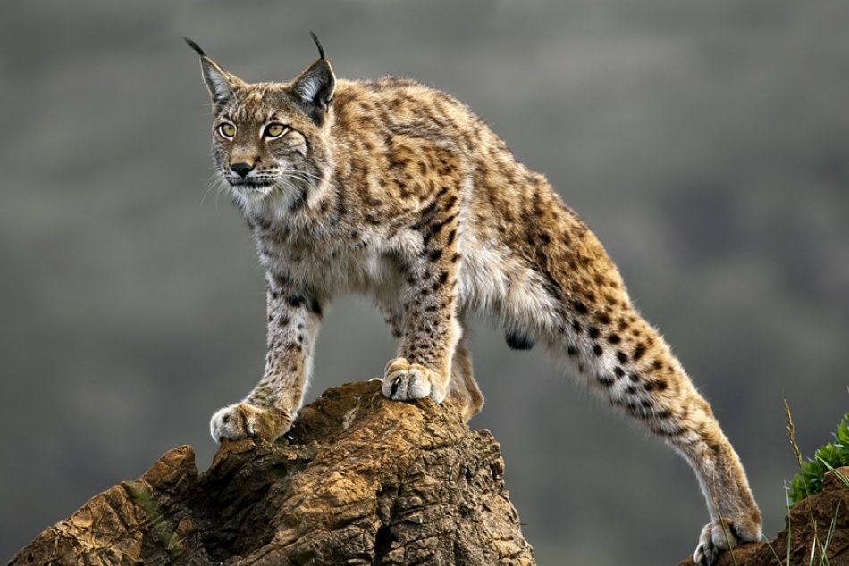 A piece of fine art art photography titled Lynx by Marina Cano