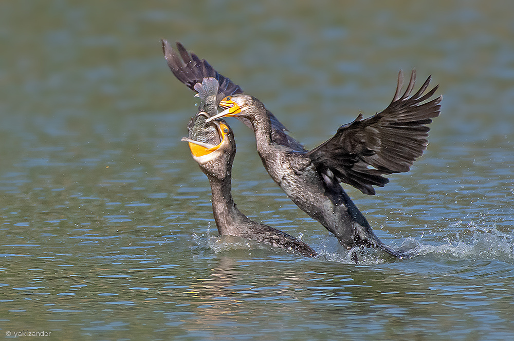 The battle for the fish ... Cormorants.     (2)
